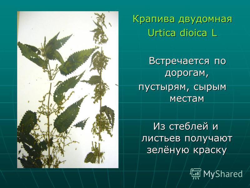 Крапива двудомная Urtica dioica L Встречается по дорогам, Встречается по дорогам, пустырям, сырым местам Из стеблей и листьев получают зелёную краску Из стеблей и листьев получают зелёную краску