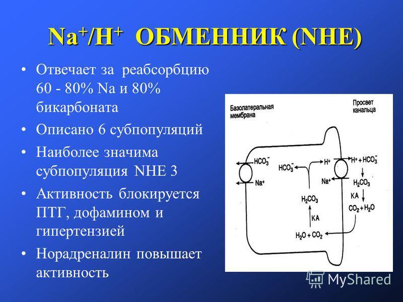 Na + /H + ОБМЕННИК (NHE) Отвечает за реабсорбцию 60 - 80% Na и 80% бикарбоната Описано 6 субпопуляций Наиболее значима субпопуляция NHE 3 Активность блокируется ПТГ, дофамином и гипертензией Норадреналин повышает активность