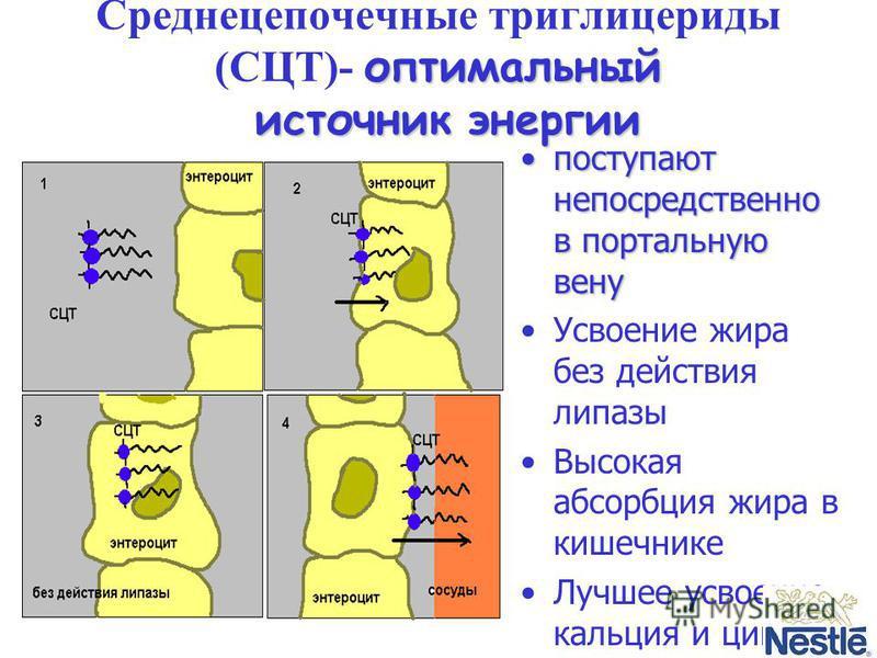 оптимальный источник энергии Среднецепочечные триглицериды (CЦТ)- оптимальный источник энергии поступают непосредственно в портальную вену поступают непосредственно в портальную вену Усвоение жира без действия липазы Высокая абсорбция жира в кишечник