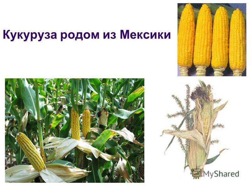 Кукуруза родом из Мексики