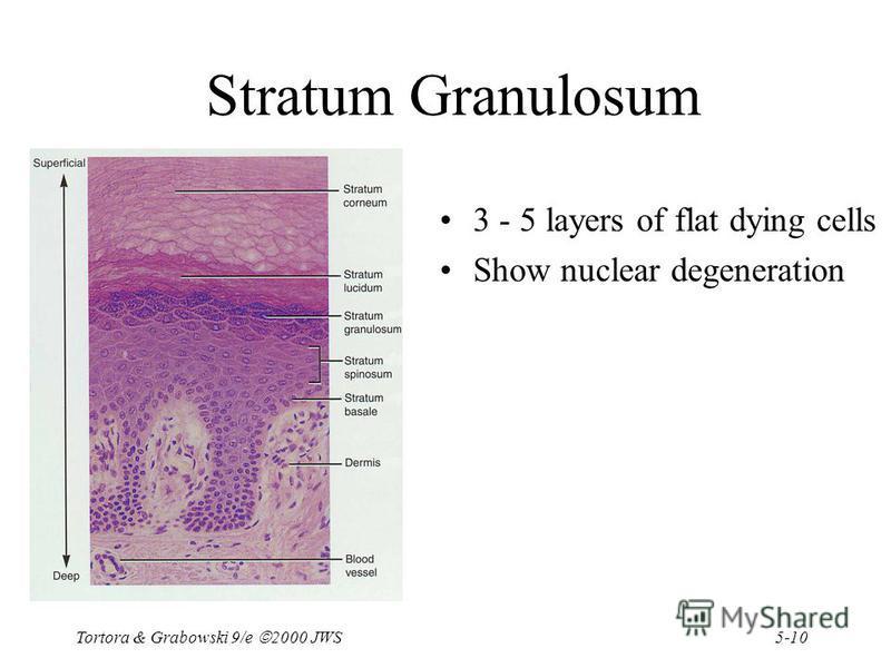 5-10 Tortora & Grabowski 9/e 2000 JWS Stratum Granulosum 3 - 5 layers of flat dying cells Show nuclear degeneration