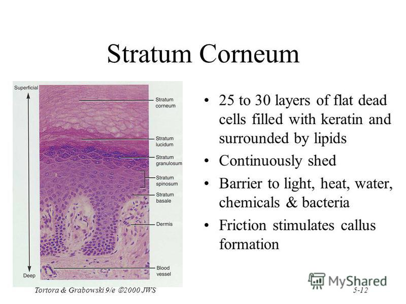 5-12 Tortora & Grabowski 9/e 2000 JWS Stratum Corneum 25 to 30 layers of flat dead cells filled with keratin and surrounded by lipids Continuously shed Barrier to light, heat, water, chemicals & bacteria Friction stimulates callus formation