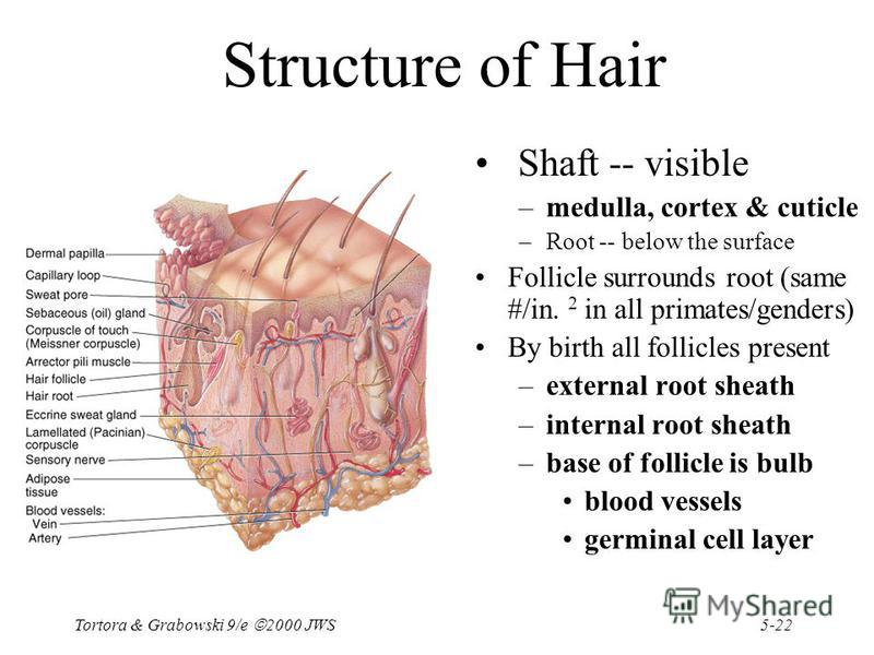 5-22 Tortora & Grabowski 9/e 2000 JWS Structure of Hair Shaft -- visible –medulla, cortex & cuticle –Root -- below the surface Follicle surrounds root (same #/in. 2 in all primates/genders) By birth all follicles present –external root sheath –intern