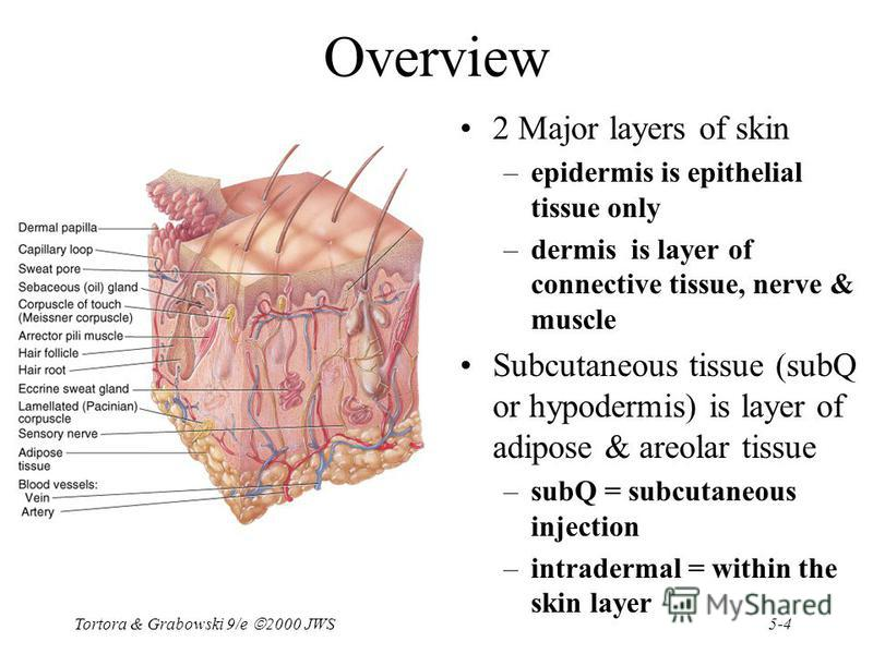 5-4 Tortora & Grabowski 9/e 2000 JWS Overview 2 Major layers of skin –epidermis is epithelial tissue only –dermis is layer of connective tissue, nerve & muscle Subcutaneous tissue (subQ or hypodermis) is layer of adipose & areolar tissue –subQ = subc
