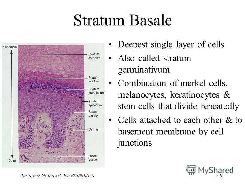 5-8 Tortora & Grabowski 9/e 2000 JWS Stratum Basale Deepest single layer of cells Also called stratum germinativum Combination of merkel cells, melanocytes, keratinocytes & stem cells that divide repeatedly Cells attached to each other & to basement