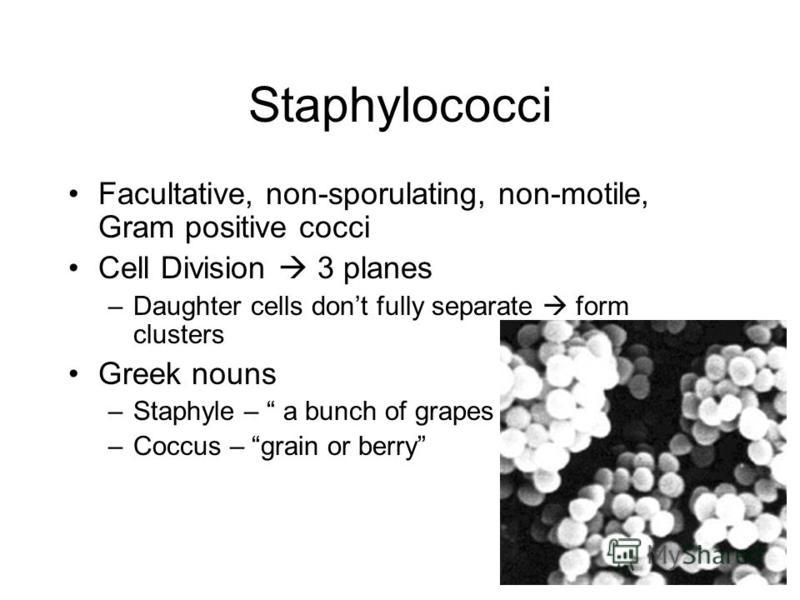 Staphylococci Facultative, non-sporulating, non-motile, Gram positive cocci Cell Division 3 planes –Daughter cells dont fully separate form clusters Greek nouns –Staphyle – a bunch of grapes –Coccus – grain or berry