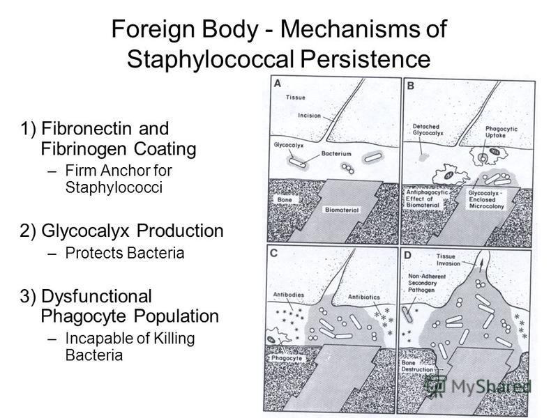 Foreign Body - Mechanisms of Staphylococcal Persistence 1) Fibronectin and Fibrinogen Coating –Firm Anchor for Staphylococci 2) Glycocalyx Production –Protects Bacteria 3) Dysfunctional Phagocyte Population –Incapable of Killing Bacteria