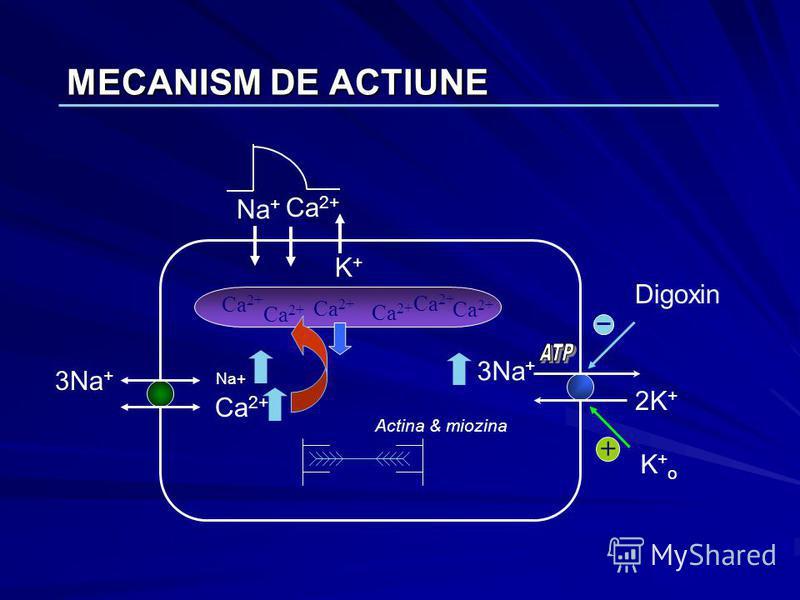 MECANISM DE ACTIUNE Na + Ca 2+ K+K+ 2K + 3Na + Ca 2+ Na+ Ca 2+ Actina & miozina Digoxin Ca 2+ K+oK+o +