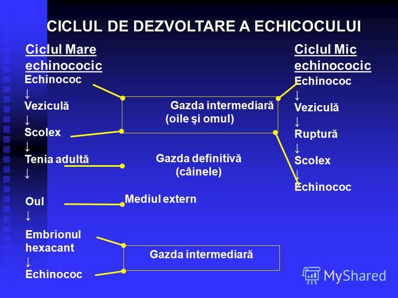 Gazda intermediară (oile şi omul) Gazda definitivă (câinele) Mediul extern Gazda intermediară Echinococ Veziculă Scolex Tenia adultă Oul Embrionul hexacant Echinococ Ciclul Mare echinococic Ciclul Mic echinococic Echinococ Veziculă Ruptură Scolex Ech