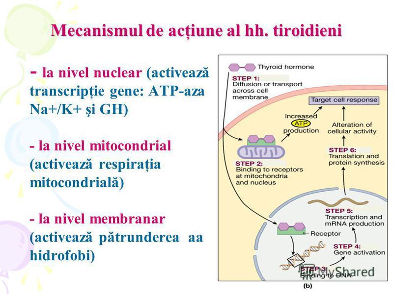 Mecanismul de acţiune al hh. tiroidieni - la nivel nuclear (activează transcripţie gene: ATP-aza Na+/K+ şi GH) - la nivel mitocondrial (activează respiraţia mitocondrială) - la nivel membranar (activează pătrunderea aa hidrofobi)