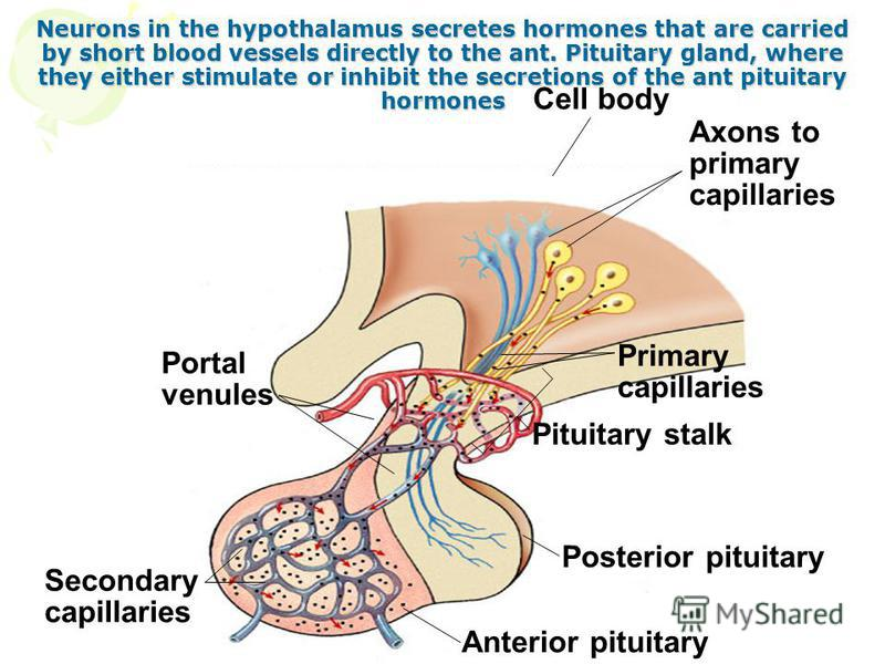 Neurons in the hypothalamus secretes hormones that are carried by short blood vessels directly to the ant. Pituitary gland, where they either stimulate or inhibit the secretions of the ant pituitary hormones Cell body Axons to primary capillaries Pri