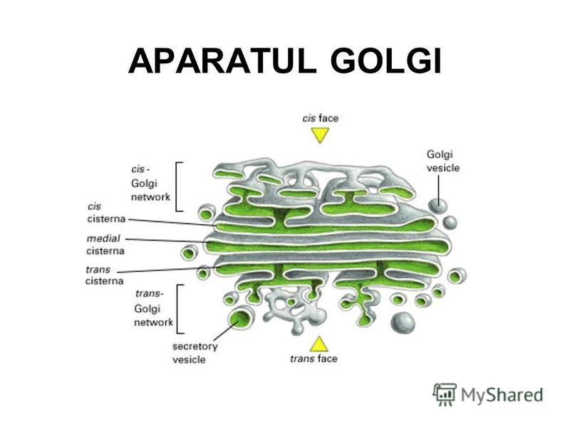 APARATUL GOLGI