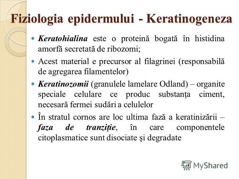 Fiziologia epidermului - Keratinogeneza Keratohialina este o proteină bogată în histidina amorfă secretată de ribozomi; Acest material e precursor al filagrinei (responsabilă de agregarea filamentelor) Keratinozomii (granulele lamelare Odland) – orga