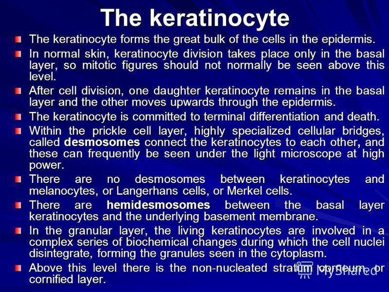 The keratinocyte The keratinocyte forms the great bulk of the cells in the epidermis. In normal skin, keratinocyte division takes place only in the basal layer, so mitotic figures should not normally be seen above this level. After cell division, one