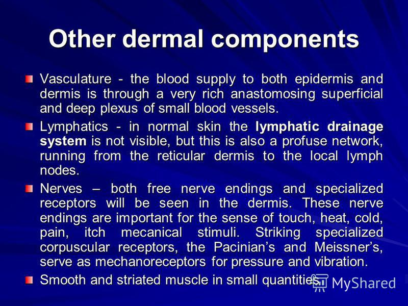 Other dermal components Vasculature - the blood supply to both epidermis and dermis is through a very rich anastomosing superficial and deep plexus of small blood vessels. Lymphatics - in normal skin the lymphatic drainage system is not visible, but