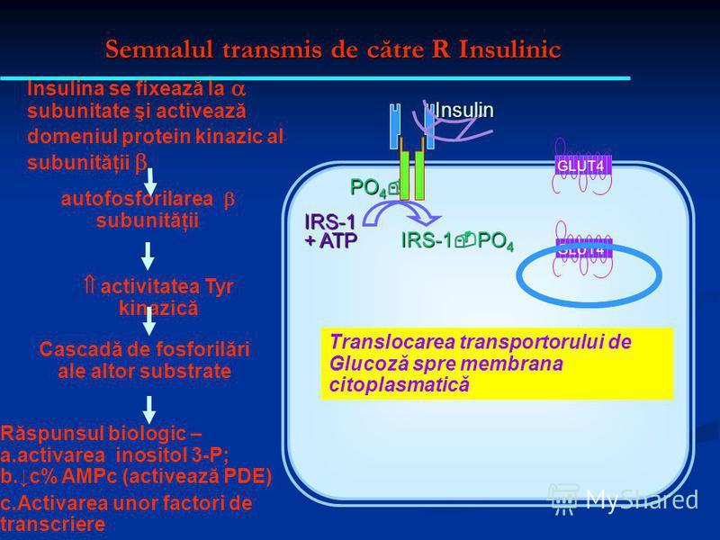 Semnalul transmis de către R Insulinic PO 4 PO 4 IRS-1 + ATP IRS-1 PO 4 Insulina se fixează la subunitate şi activează domeniul protein kinazic al subunităţii Insulin autofosforilarea subunităţii GLUT4 Cascadă de fosforilări ale altor substrate activ