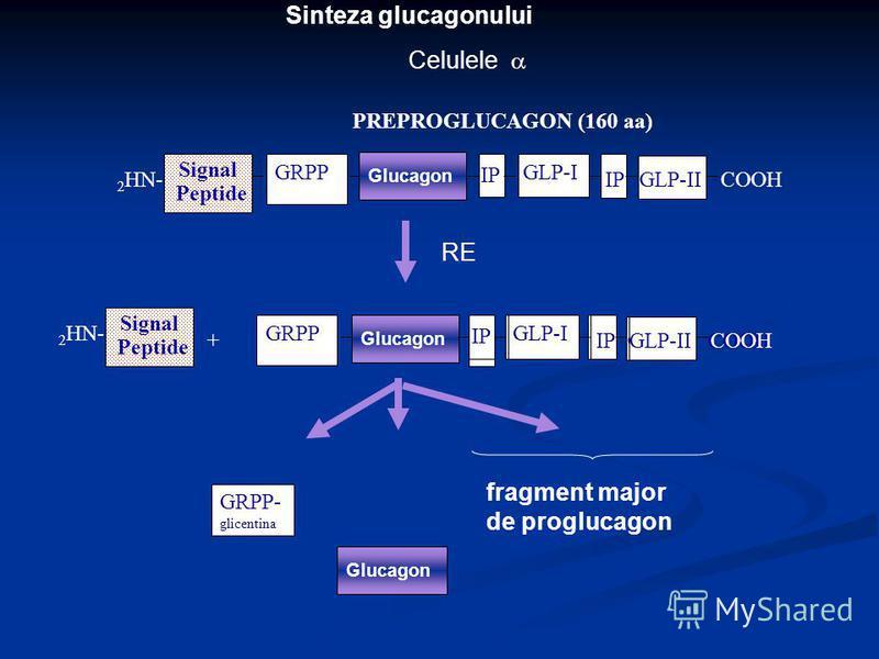 Sinteza glucagonului Signal Peptide 2 HN- IP GLP-I GLP-IICOOH PREPROGLUCAGON (160 aa) GRPP Celulele + IP Glucagon GRPP IP GLP-I GLP-IICOOH Signal Peptide 2 HN- IP GLP-I GLP-IICOOH Glucagon GRPP RE Glucagon fragment major de proglucagon Glucagon GRPP-