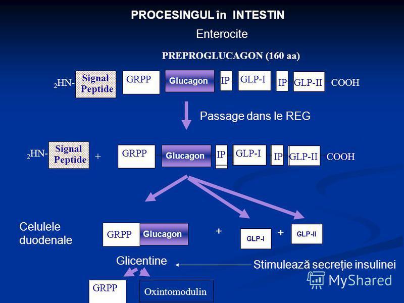 PROCESINGUL în INTESTIN Signal Peptide 2 HN- IP GLP-I GLP-IICOOH PREPROGLUCAGON (160 aa) GRPP Enterocite + IP Glucagon GRPP IP GLP-I GLP-IICOOH Signal Peptide 2 HN- IP GLP-I GLP-IICOOH Glucagon GRPP Passage dans le REG Glucagon GRPP Glicentine GLP-II