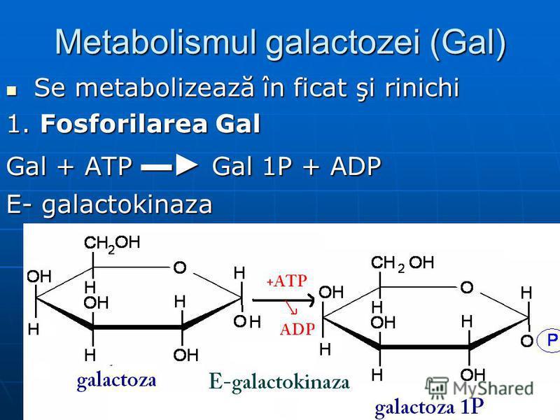 Metabolismul galactozei (Gal) Se metabolizează în ficat şi rinichi Se metabolizează în ficat şi rinichi 1. Fosforilarea Gal Gal + ATP Gal 1P + ADP E- galactokinaza