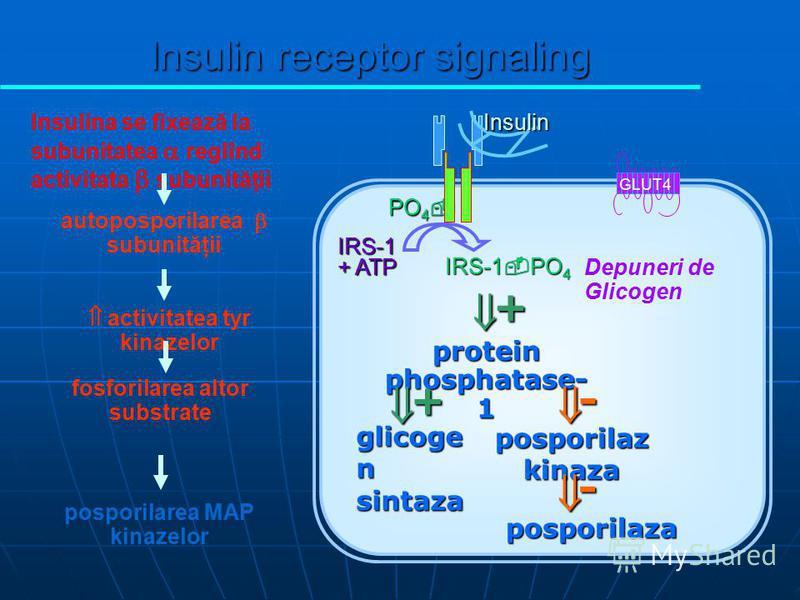 PO 4 PO 4 IRS-1 + ATP IRS-1 PO 4 Insulin GLUT4 glicoge n sintaza protein phosphatase- 1 posporilaz kinaza posporilaza + + - - Depuneri de Glicogen Insulina se fixează la subunitatea reglînd activitata subunităţii autoposporilarea subunităţii fosforil