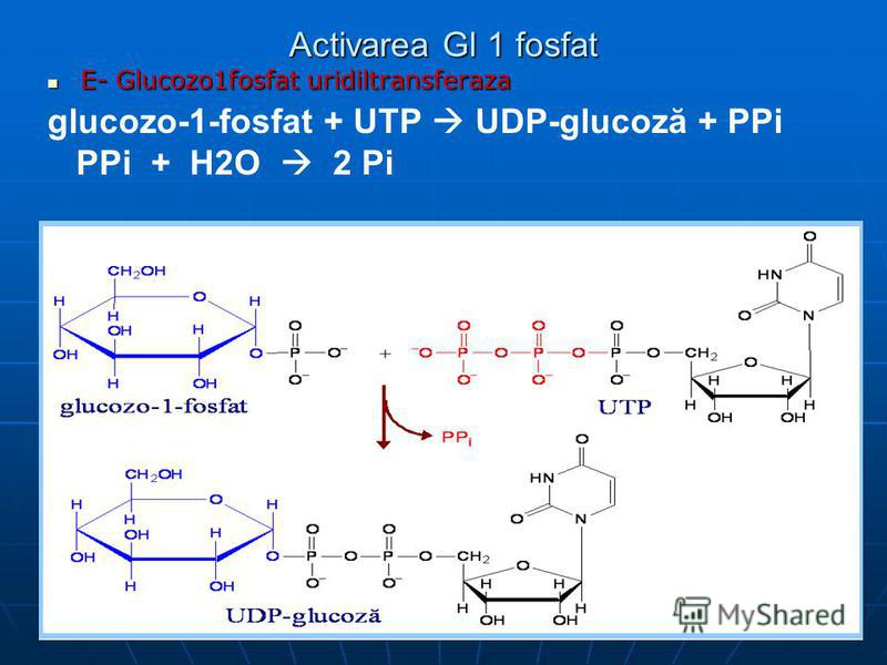 Activarea Gl 1 fosfat E- Glucozo1fosfat uridiltransferaza E- Glucozo1fosfat uridiltransferaza glucozo-1-fosfat + UTP UDP-glucoză + PPi PPi + H2O 2 Pi