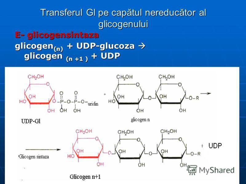 Transferul Gl pe capătul nereducător al glicogenului E- glicogensintaza glicogen (n) + UDP-glucoza glicogen (n +1 ) + UDP