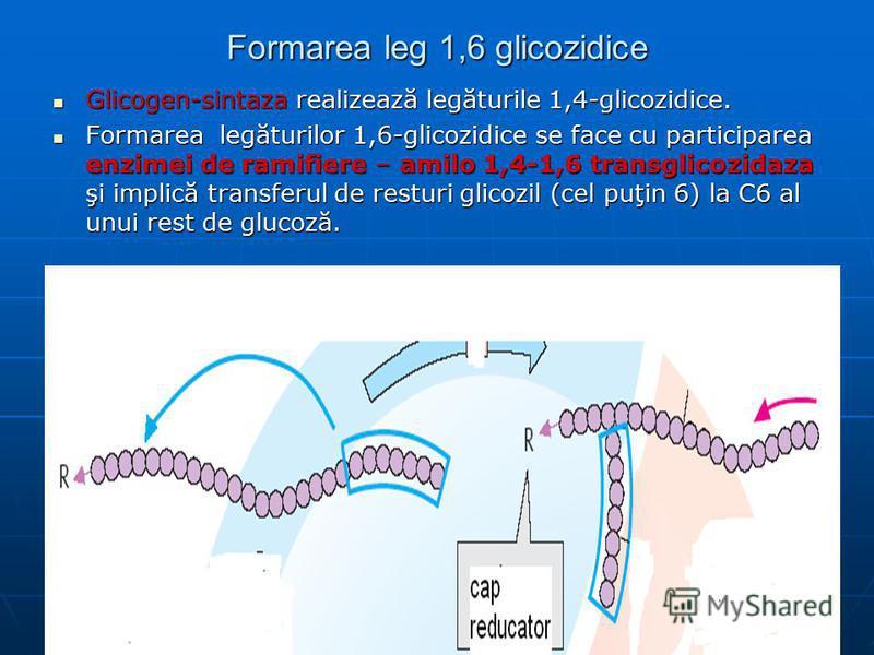 Formarea leg 1,6 glicozidice Glicogen-sintaza realizează legăturile 1,4-glicozidice. Glicogen-sintaza realizează legăturile 1,4-glicozidice. Formarea legăturilor 1,6-glicozidice se face cu participarea enzimei de ramifiere – amilo 1,4-1,6 transglicoz
