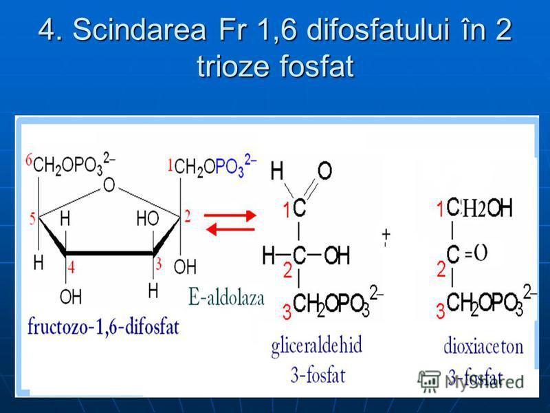 4. Scindarea Fr 1,6 difosfatului în 2 trioze fosfat