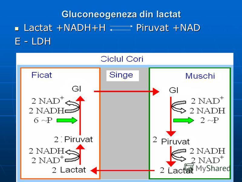 Gluconeogeneza din lactat Lactat +NADH+H Piruvat +NAD Lactat +NADH+H Piruvat +NAD E - LDH