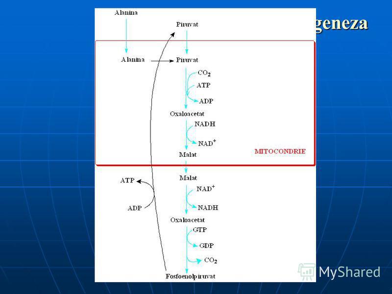 Gluconeogeneza