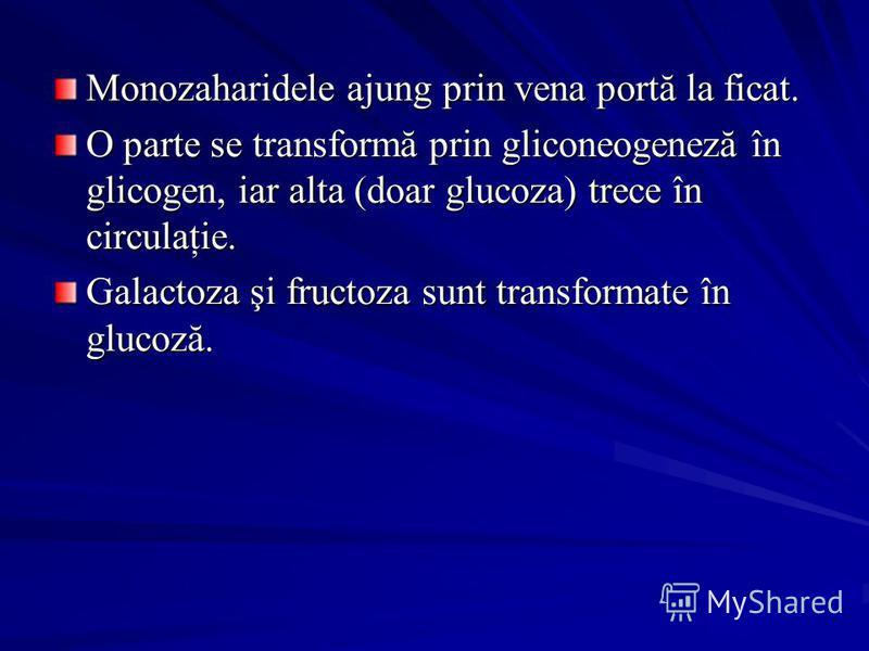 Monozaharidele ajung prin vena portă la ficat. O parte se transformă prin gliconeogeneză în glicogen, iar alta (doar glucoza) trece în circulaţie. Galactoza şi fructoza sunt transformate în glucoză.