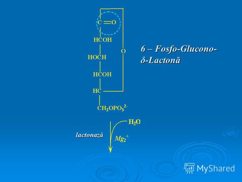 6 – Fosfo-Glucono- δ-Lactonă lactonază