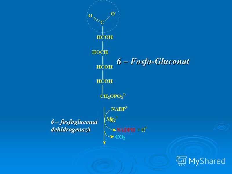 6 – Fosfo-Gluconat 6 – fosfogluconat dehidrogenază