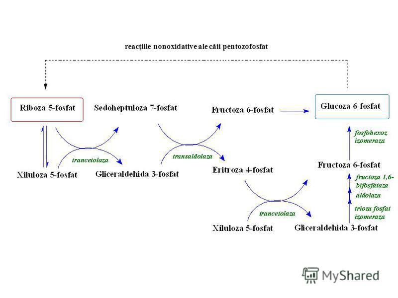 reacţiile nonoxidative ale căii pentozofosfat