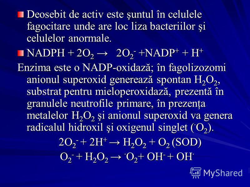 Deosebit de activ este şuntul în celulele fagocitare unde are loc liza bacteriilor şi celulelor anormale. NADPH + 2O 2 2O 2 - +NADP + + H + Enzima este o NADP-oxidază; în fagolizozomi anionul superoxid generează spontan H 2 O 2, substrat pentru mielo