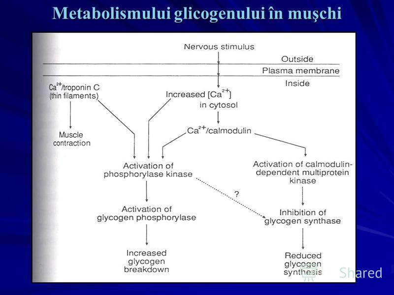 Metabolismului glicogenului în muşchi