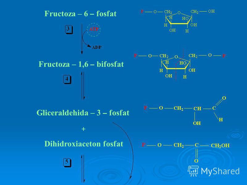 Fructoza – 6 – fosfat Fructoza – 1,6 – bifosfat Gliceraldehida – 3 – fosfat + Dihidroxiaceton fosfat