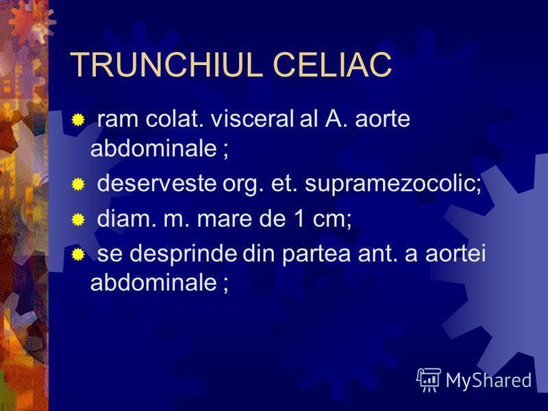 TRUNCHIUL CELIAC ram colat. visceral al A. aorte abdominale ; deserveste org. et. supramezocolic; diam. m. mare de 1 cm; se desprinde din partea ant. a aortei abdominale ;