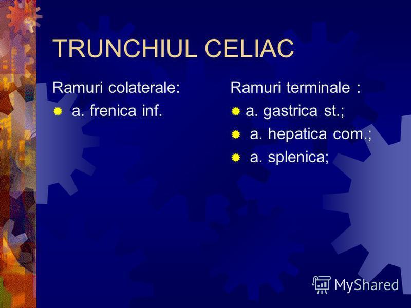 TRUNCHIUL CELIAC Ramuri colaterale: a. frenica inf. Ramuri terminale : a. gastrica st.; a. hepatica com.; a. splenica;