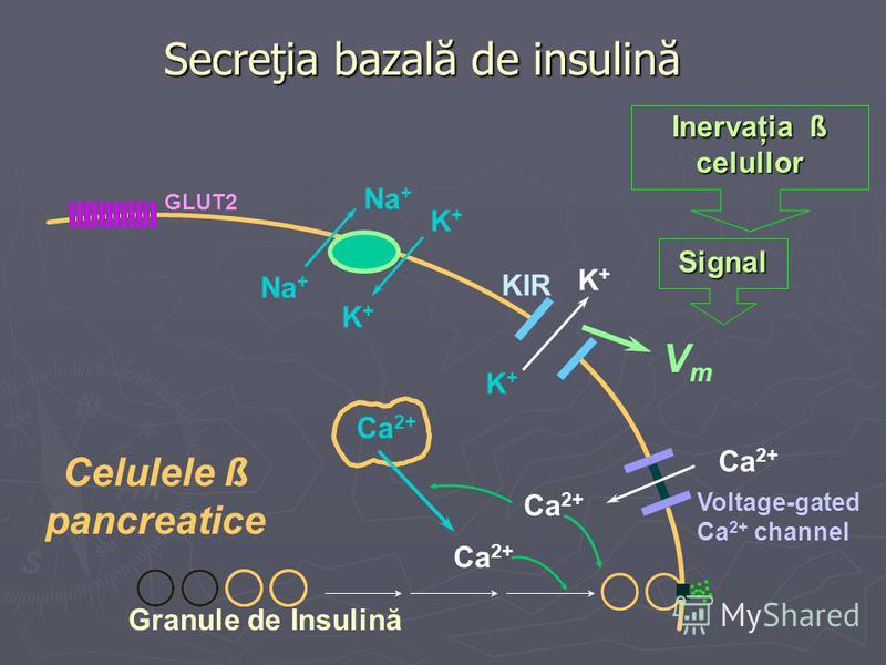 Secreţia bazală de insulină Na + K+K+ K+K+ K+K+ K+K+ GLUT2 Ca 2+ Voltage-gated Ca 2+ channel KIR Celulele ß pancreatice Inervaţia ß celullor Signal Granule de Insulină Ca 2+ VmVm
