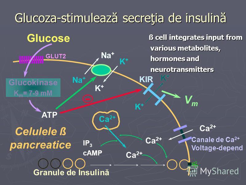 Granule de Insulină Glucoza-stimulează secreţia de insulină Na + K+K+ K+K+ K+K+ K+K+ ATP Na + K+K+ - K+K+ Glucose GLUT2 Ca 2+ Canale de Ca 2+ Voltage-depend KIR VmVm Celulele ß pancreatice IP 3 cAMP Glucokinase K m = 7-9 mM ß cell integrates input fr