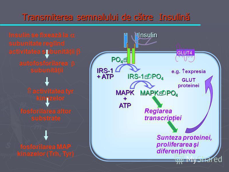 PO 4 PO 4 IRS-1 + ATP IRS-1 PO 4 Insulin GLUT4 fosforilarea MAP kinazelor (Trh, Tyr) MAPK + ATP MAPK PO 4 Reglarea transcripţiei Sunteza proteinei, proliferarea şi diferenţierea Insulin se fixează la subunitate reglînd activitatea subunităţii autofos