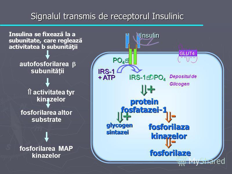 PO 4 PO 4 IRS-1 + ATP IRS-1 PO 4 Insulin GLUT4 glycogen sintazei protein fosfatazei-1 fosforilaza kinazelor fosforilaze + + - - Depositul de Glicogen Insulina se fixează la a subunitate, care reglează activitatea b subunităţii autofosforilarea subuni