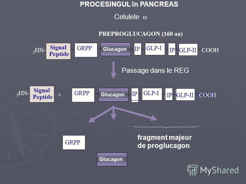 PROCESINGUL în PANCREAS Signal Peptide 2 HN- IP GLP-I GLP-IICOOH PREPROGLUCAGON (160 aa) GRPP Celulele + IP Glucagon GRPP IP GLP-I GLP-IICOOH Signal Peptide 2 HN- IP GLP-I GLP-IICOOH Glucagon GRPP Passage dans le REG Glucagon fragment majeur de progl