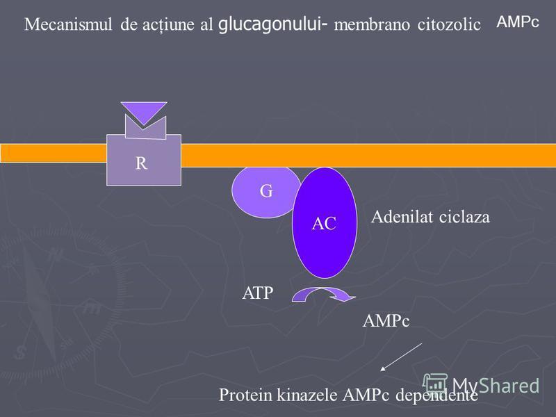Mecanismul de acţiune al glucagonului- membrano citozolic R G AC ATP Adenilat ciclaza AMPc Protein kinazele AMPc dependente AMPc