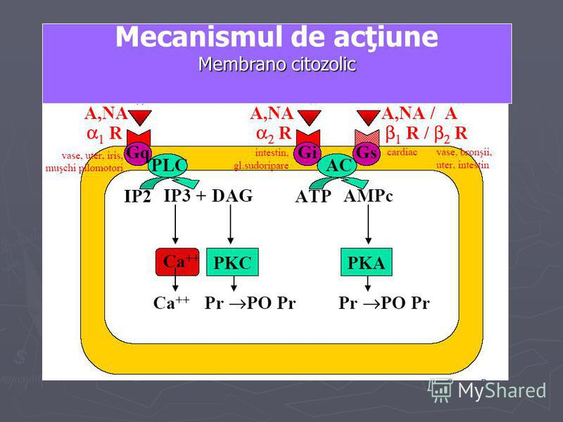 Mecanismul de acţiune Membrano citozolic