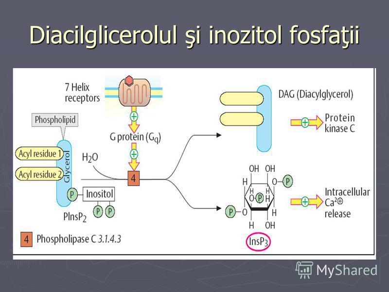 Diacilglicerolul şi inozitol fosfaţii