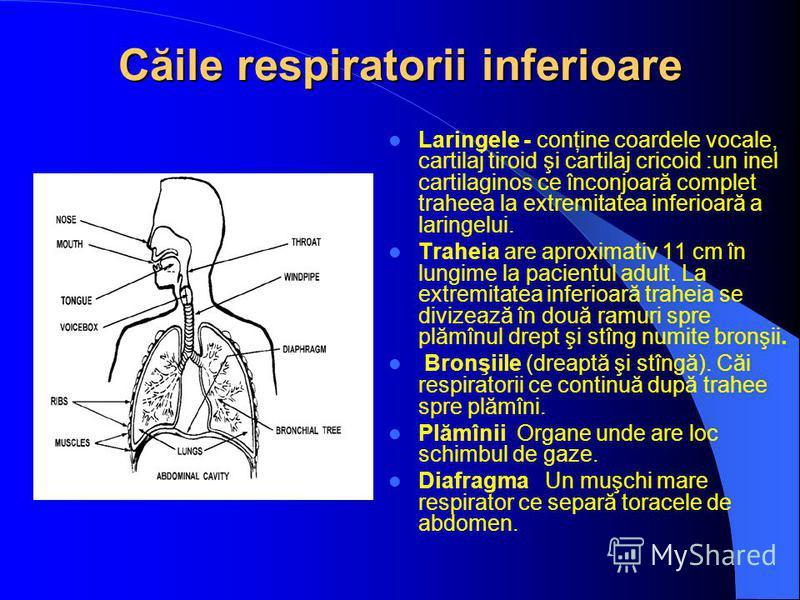 Căile respiratorii inferioare Laringele - conţine coardele vocale, cartilaj tiroid şi cartilaj cricoid :un inel cartilaginos ce înconjoară complet traheea la extremitatea inferioară a laringelui. Traheia are aproximativ 11 cm în lungime la pacientul
