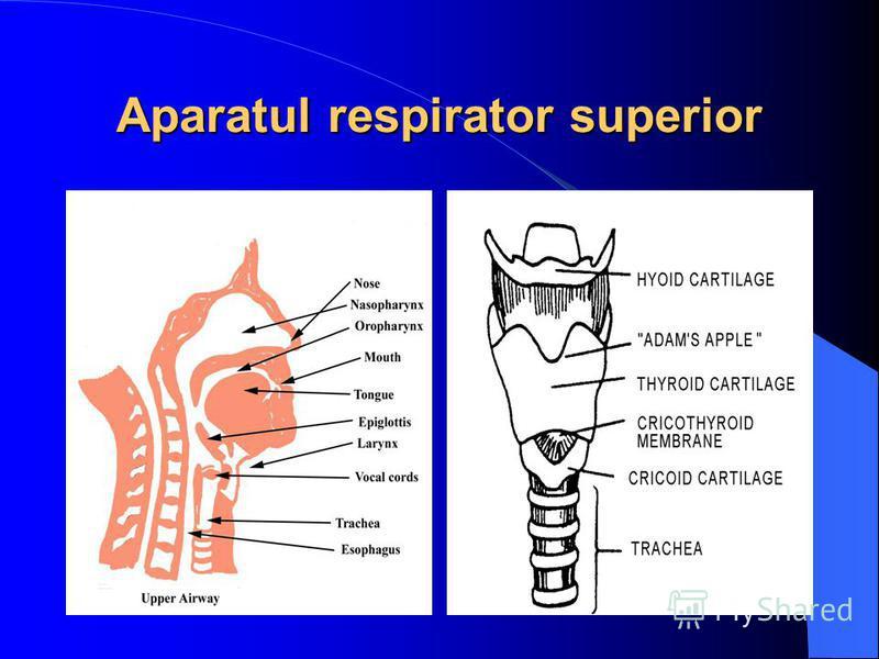 Aparatul respirator superior