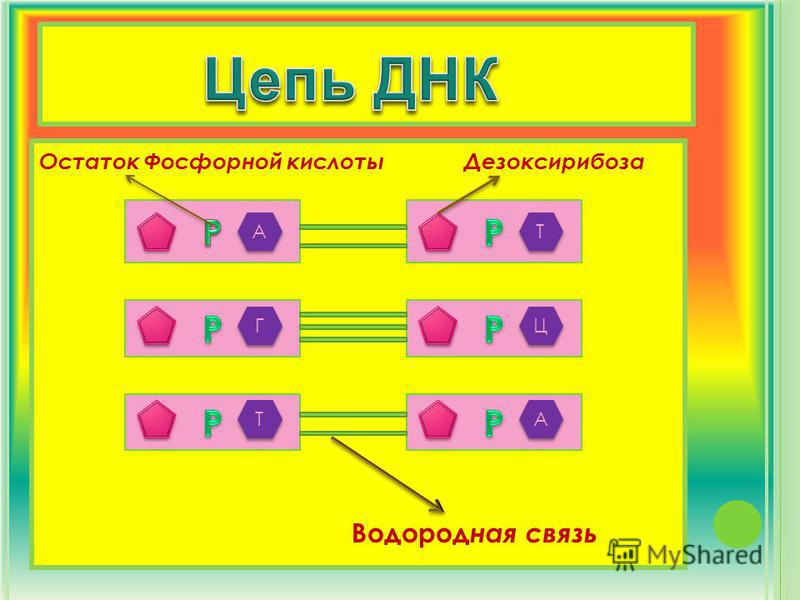 А А Т Т Г Г Ц Ц Т Т А А Остаток Фосфорной кислоты Водород ная связь Дезоксирибоза